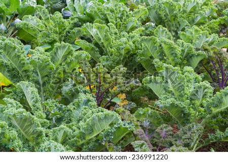hydroponic salad vegetable. - stock photo