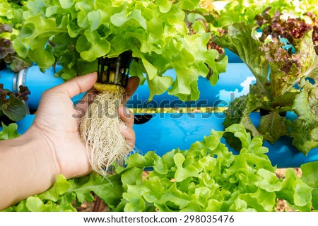 Hydroponic vegetable in farm. Lettuce in hand.