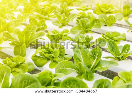 Hydroponic vegetables growing. Fresh organic vegetable in hydroponic vegetable field