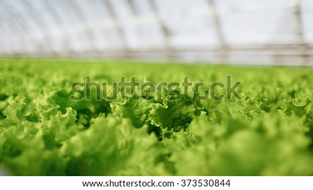 Hydroponic vegetables growing in greenhouse. Fresh organic vegetable in hydroponic vegetable field. - stock photo