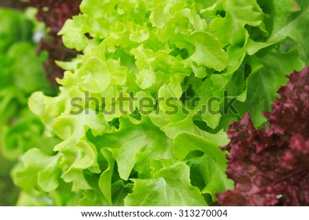 hydroponic lettuce stock images royalty free images vectors shutterstock. Black Bedroom Furniture Sets. Home Design Ideas