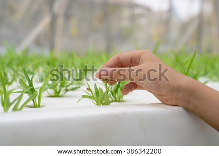 Hydroponics method of growing plants using mineral nutrient solutions, in water, without soil. Close up planting hand Hydroponics plant ,Organic hydroponic vegetable cultivation farm