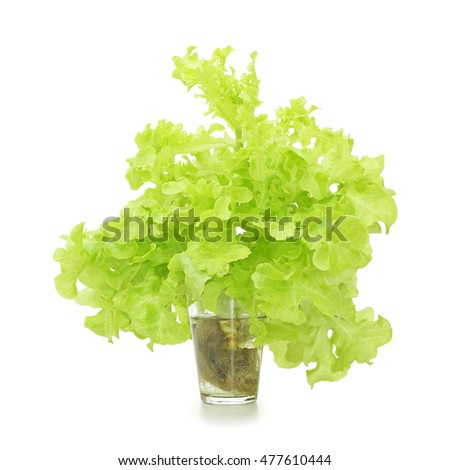 Hydroponics of growing plants in water without soil isolated on white background