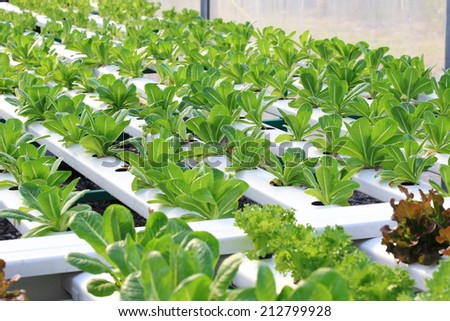 Hydroponics vegetable - stock photo