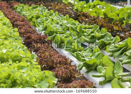 Hydroponics vegetable organic food
