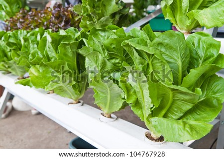 hydroponics vegetable that no use any ground for plant