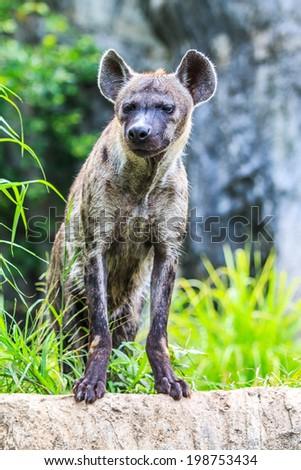 Hyena - stock photo