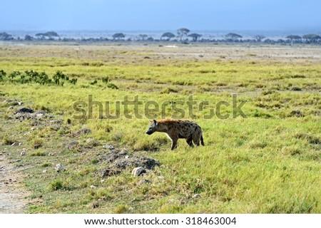 Hyena Amboseli National Park in Kenya - stock photo