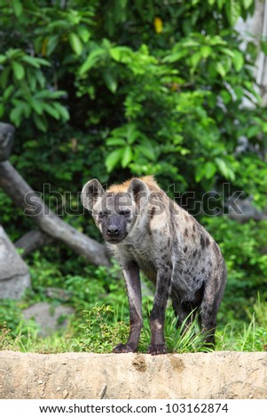 Hyena are stare at us with forest background - stock photo