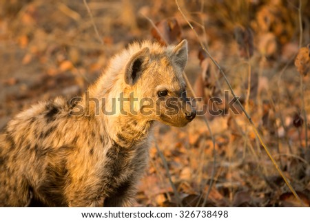 Hyena cub in Sabi Sands Game Reserve in greater Kruger National Park, South Africa - stock photo