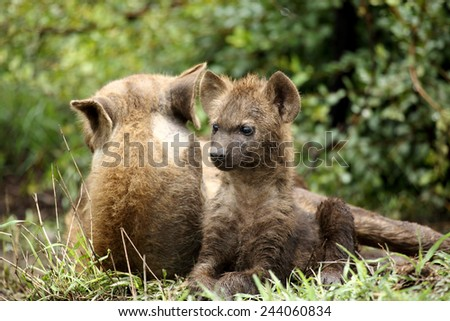 Hyena cub with mom at den lying down and alert - stock photo