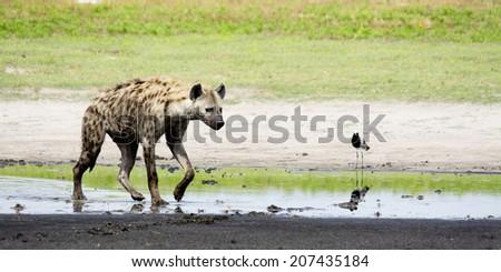 Hyena in Shallow Water, Liuwa Plains National Park, Zambia, Africa - stock photo