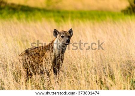 Hyena in the grass in the Moremi Game Reserve (Okavango River Delta), National Park, Botswana - stock photo