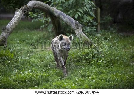 Hyena in zoo - stock photo