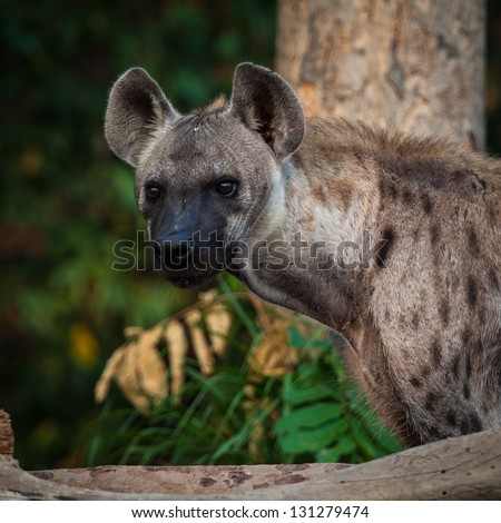 Hyena looking with alert in the forest