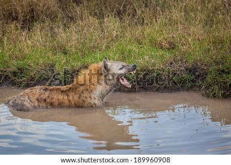 Hyena snarls and growls at intruder - stock photo