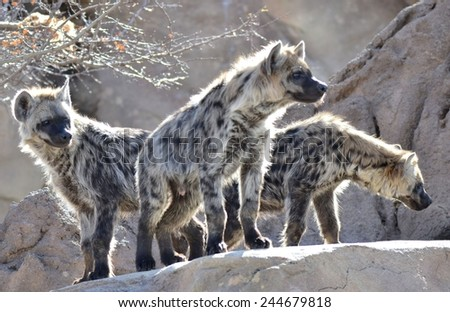 Hyenas - stock photo