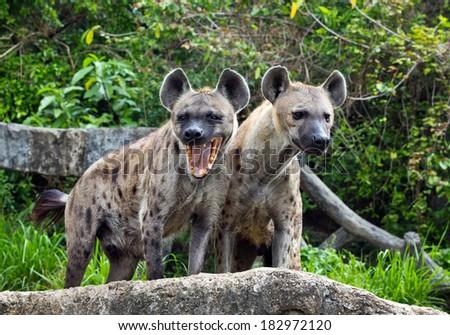 Hyenas in the zoo. - stock photo