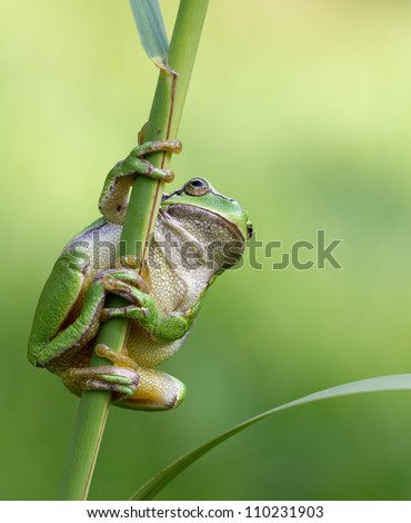 Hyla Arborea (green treefrog) hanging towards some grass and ready to make a giant leap to his habitat