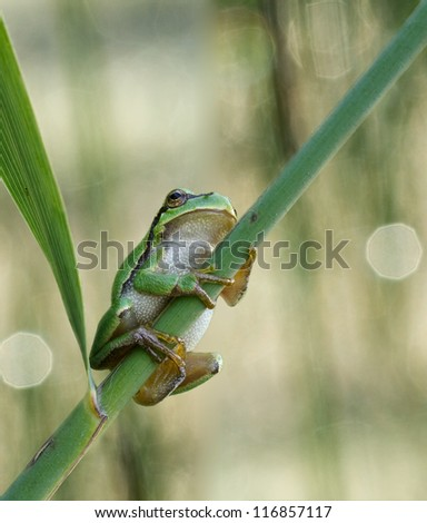 Hyla Arborea (green treefrog) in a great background