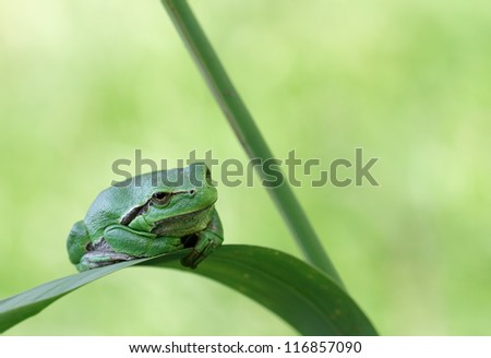 Hyla Arborea (green treefrog) with his typical resting pose
