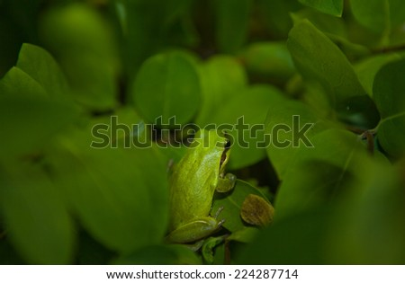 Hyla arborea or tree frog, a cute little green frog climbing a branch at night - stock photo