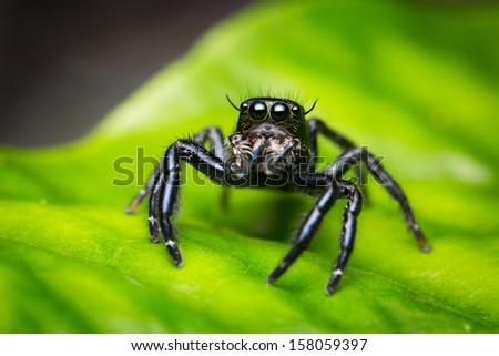 Hyllus Keratodes (Jumping Spider) on leaf background
