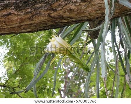 Hylocereus undatus bloom dragon fruit flower stock photo royalty hylocereus undatus in bloom dragon fruit flower in garden the flowers are white and mightylinksfo