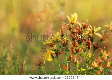 Hypericum flowers (Hypericum perforatum or St John's wort) on the meadow at sunrise with dew drops, selective focus on some flowers - stock photo