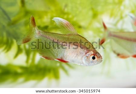 Hyphessobrycon rosaceus - aquarium fish - Rosy Tetra - stock photo