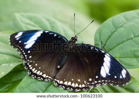 Hypolimnas bolina butterfly - stock photo