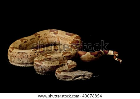 hypomelanistic Columbian red-tailed boa (Boa constrictor constrictor) isolated on black background. - stock photo