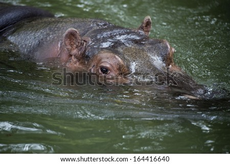hyppopotamus close up portrait while swimming to you - stock photo