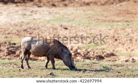 I eat in - Phacochoerus africanus - The common warthog is a wild member of the pig family found in grassland, savanna, and woodland in sub-Saharan Africa. - stock photo