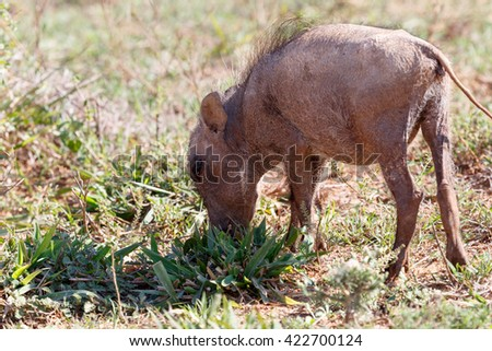 I EYE You - Phacochoerus africanus - The common warthog is a wild member of the pig family found in grassland, savanna, and woodland in sub-Saharan Africa. - stock photo