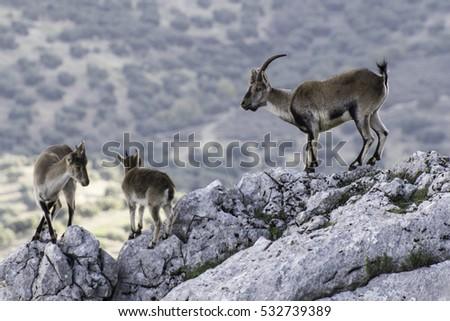 stock-photo-iberian-wild-goats-on-the-ro