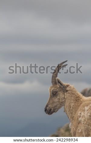 ibex goat - stock photo