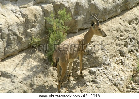 ibex in the dead sea area desert