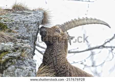 ibex long horn sheep Steinbock on the rocks in Italian Dolomites  - stock photo