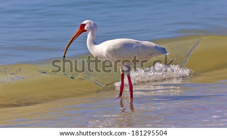 Ibis in front of a wave - stock photo