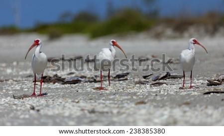 Ibises (Threskiornithinae) on the beach - stock photo