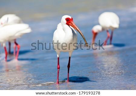 Ibises (Threskiornithinae) on the beach of Sanibel Island, Florida - stock photo