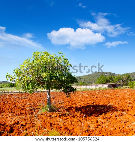 Ibiza mediterranean agriculture with fig tree on red clay soil - stock photo