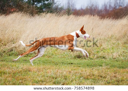 Ibizan hound dog running