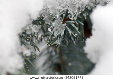 ice on a pine branch in the snow - stock photo