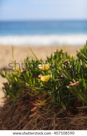 Ice plant succulent, Carpobrotus edulis, creeping ground cover on beach sand in the spring in Southern California with the ocean in the background - stock photo