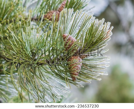 Ice the pine branch with two cones closeup. The background is blurred