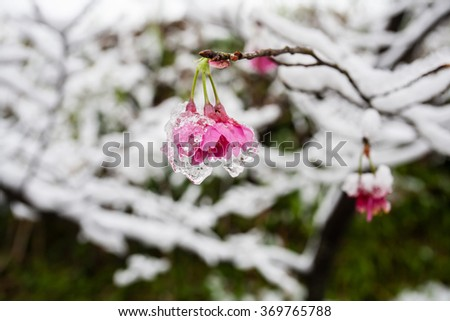 iced cherry blossom - stock photo