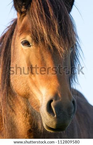 Iceland Horse - stock photo