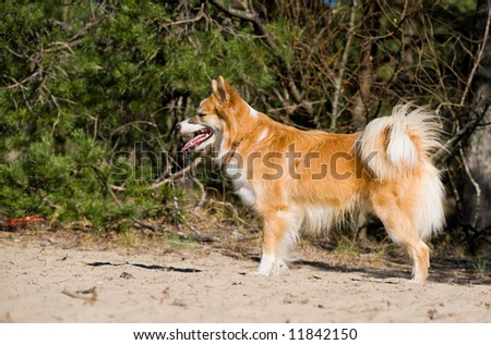 Iceland hound in a woods - stock photo